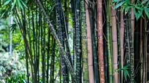 Bambus als nachwachsender Rohstoff