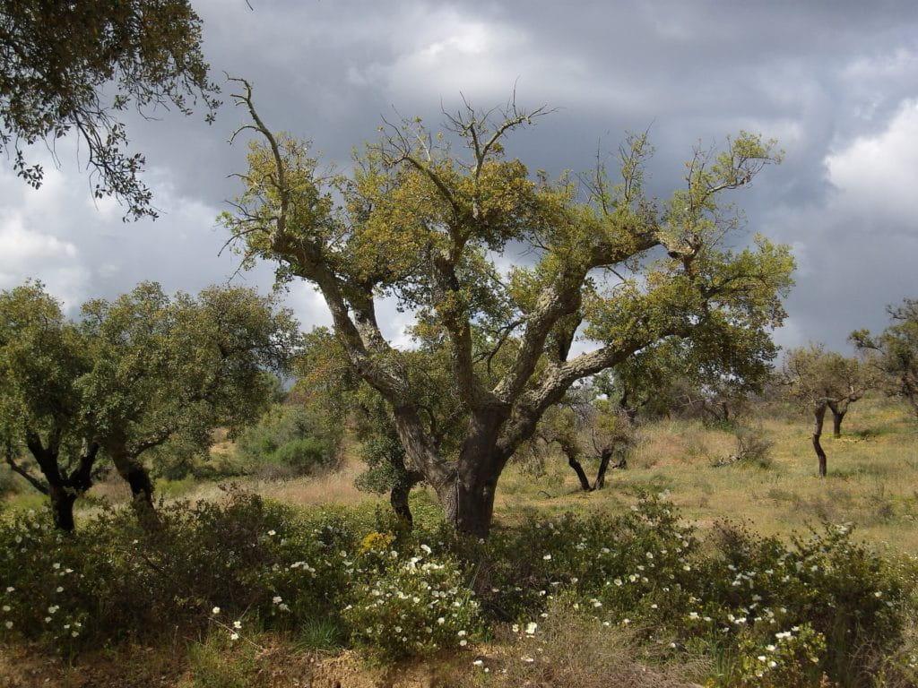 Kork-Bodenbeläge sind nachhaltig - Das Foto zeigt eine Korkeiche aus Portugal
